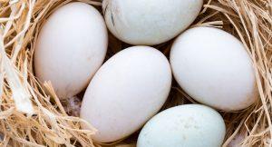 incubare uova d'anatra e oca - uova d'anatra