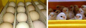 A sinistra, le uova di Boffa e Polverara nell'incubatrice Novital Covatutto 24; a destra il risultato della schiusa!