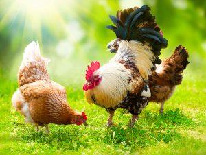 Allevare polli e galline all'aperto, in maniera rispettosa delle loro necessità.