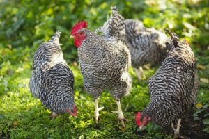 Allevare i polli all'aperto comporta una serie di grandi benefici per la salute degli animali.