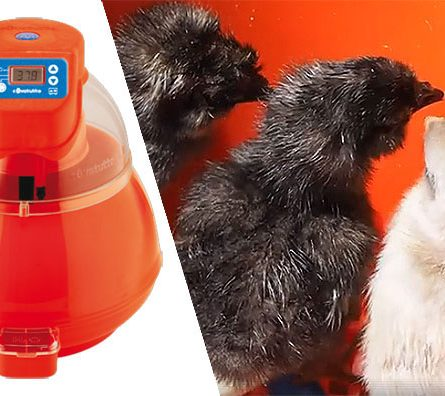 How to incubate chicken eggs with the Novital Covatutto 16L digital incubator
