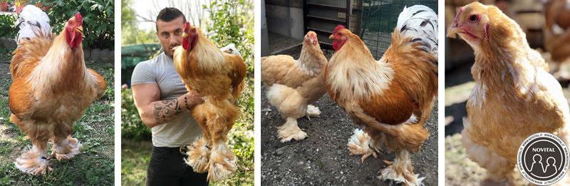 Le galline Brahma Lemon Pile di Saverio, da tre generazioni nel suo allevamento. A sinistra il capostipite.