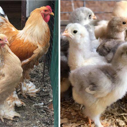 Le galline Brahma, passione di Saverio