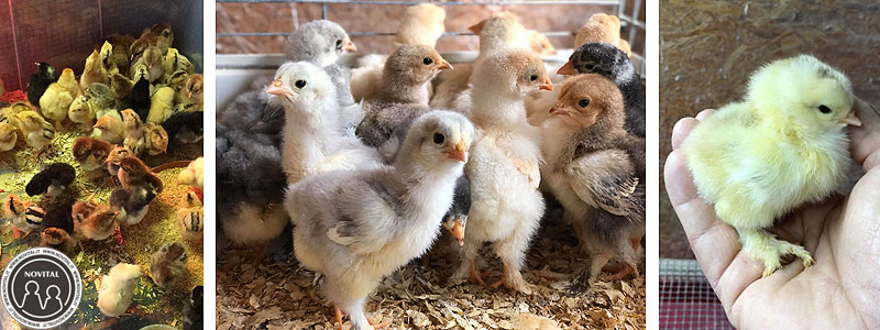 I pulcini delle galline Brahma (e di altre razze) di Saverio, fatti schiudere con le Covatutto 24, 54 e 162.
