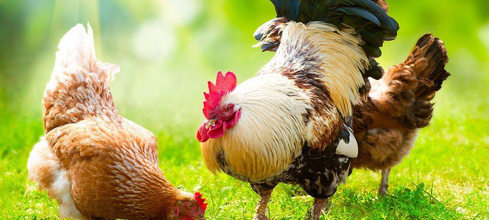 Free range farming chickens