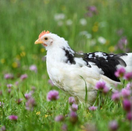 Quanto vive una gallina? Scopriamolo insieme!