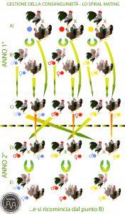 Lo spiral mating, un metodo che permette di gestire la consanguineità negli avicoli.