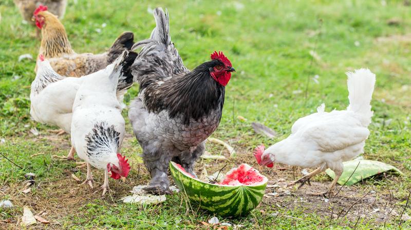 """D'estate meglio limitare cibi apparentemente """"freschi"""" ma poveri in fibra e ricchi d'acqua, come meloni e angurie."""