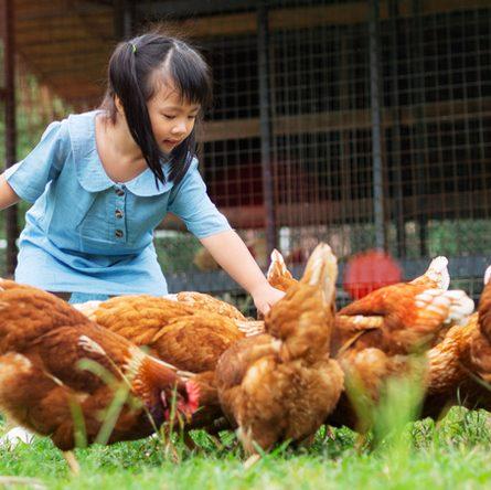 Come alimentare i polli ruspanti e le galline ovaiole: sfatiamo alcuni miti! Intervista al dott. Alessandro Guerrini
