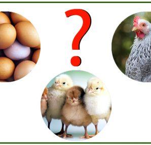 Iniziare un allevamento di avicoli: uova, pulcini o riproduttori?