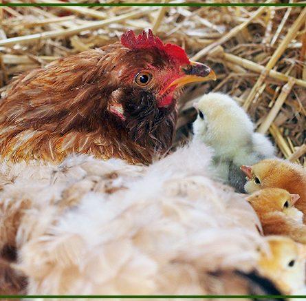 Le galline in cova possono capire se un uovo è stato fecondato o no?
