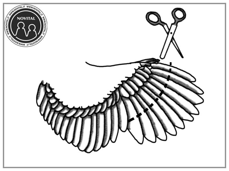 Accorciare le penne delle ali a una gallina: ecco come fare