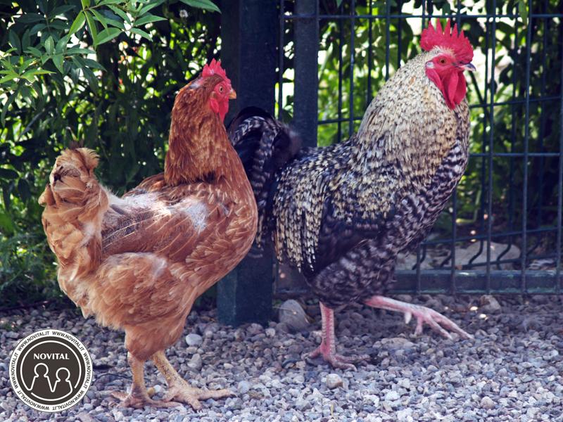 I polli possono sorprenderci per le loro capacità di fuga.