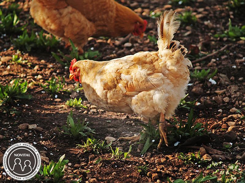 La muta delle galline serve a ripristinare la perfezione del piumaggio logotato.