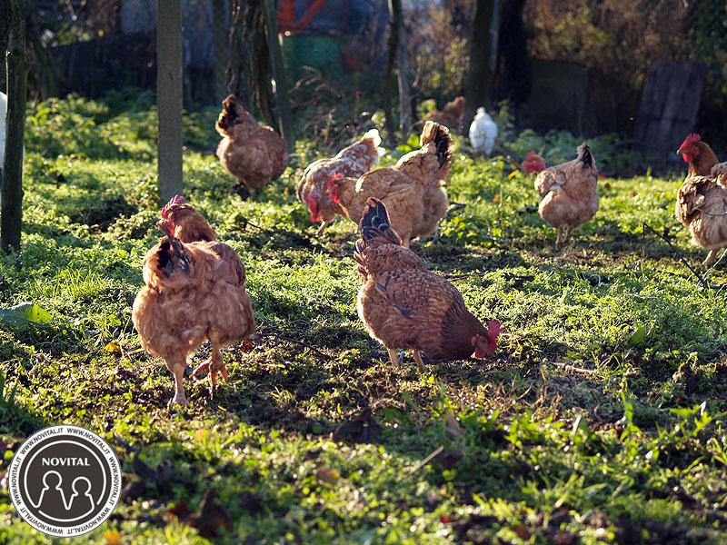 Le galline in muta dovrebbero aver a disposizione un buon pascolo che funga da integrazione alla razione quotidiana.