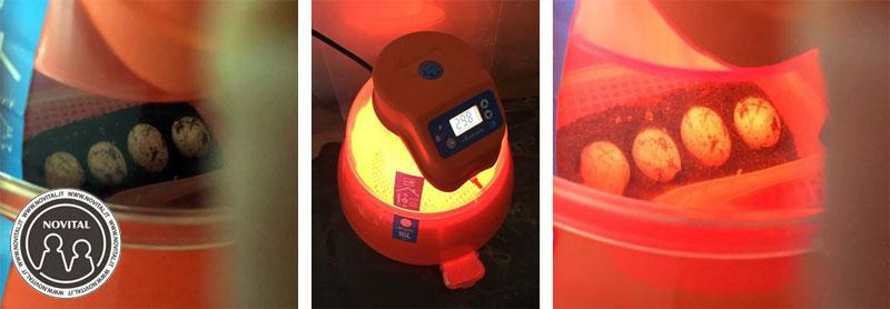 Eco le uova di Giulia durante il periodo di incubazione con la Covatutto 16L digitale automatica