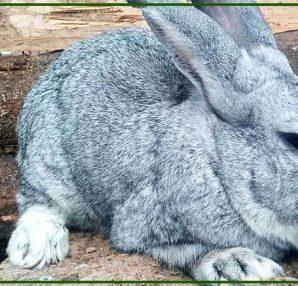 Allevamento del coniglio grigio di carmagnola: intervista a Sandro Gallina.