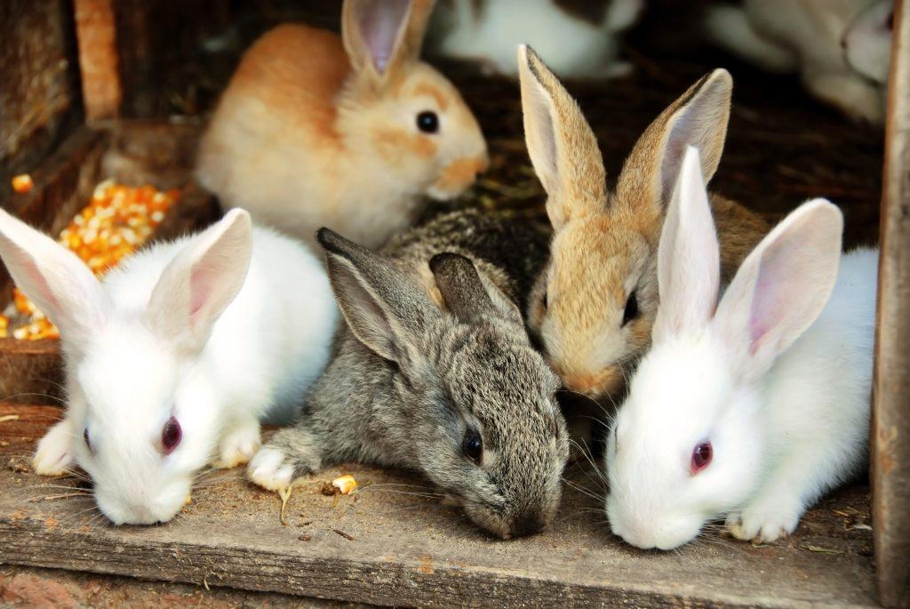 Allevare i conigli era un'attività molto diffusa un tempo.