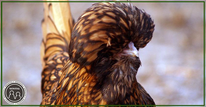 Gallina Padovana Gran Ciuffo, la regina dei polli ornamentali