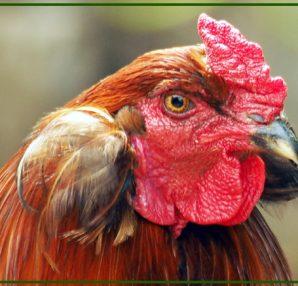 Araucana, la gallina dalle uova azzurre.
