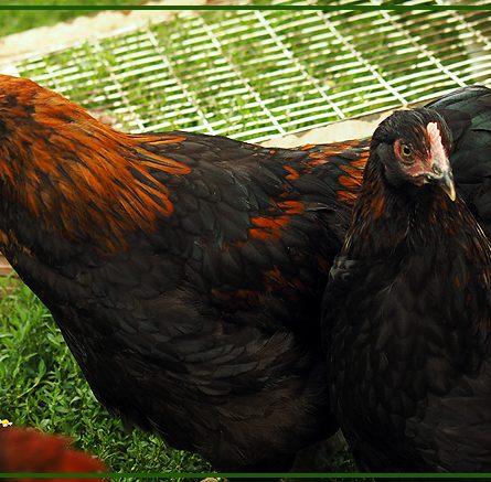 Inserire i pulcini in pollaio: come fare? Ecco i nostri consigli.